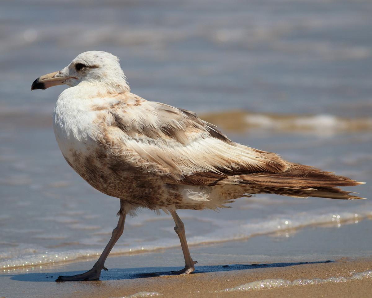 IMAGE: https://photos.smugmug.com/Monterey/Monterey-2017/i-mbDtCWD/0/3e210b45/X2/Birds-20170707-143-X2.jpg