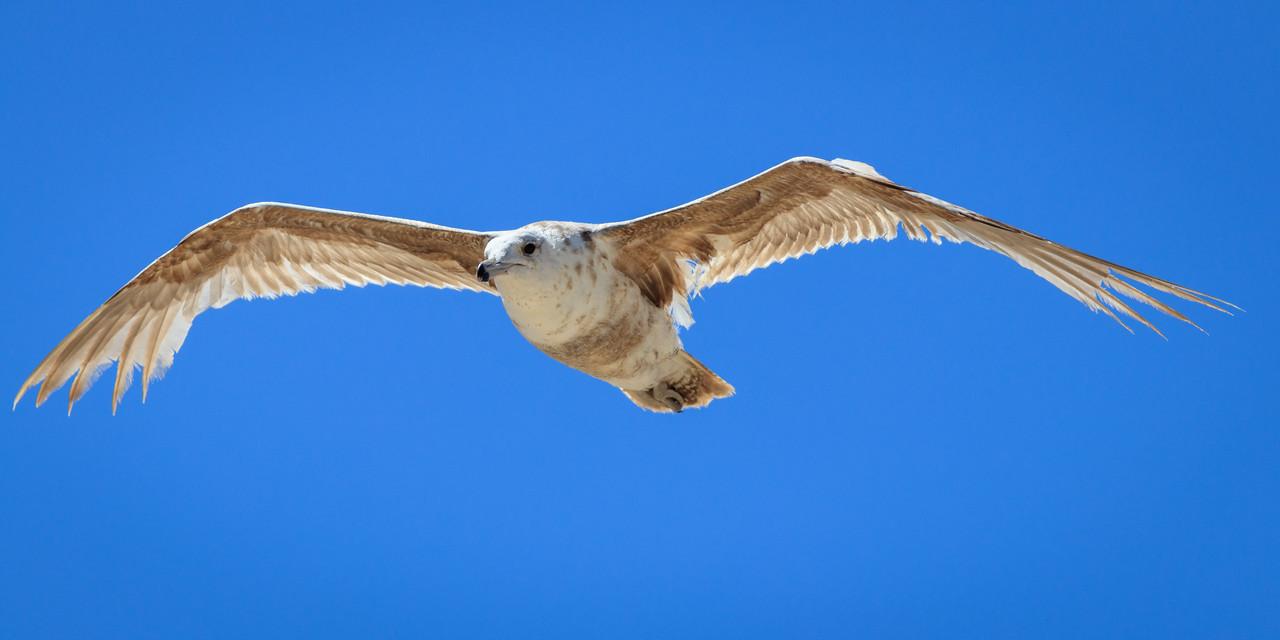 IMAGE: https://photos.smugmug.com/Monterey/Monterey-2017/i-ntnfz6R/0/f78715b1/X2/Birds-20170707-045-X2.jpg