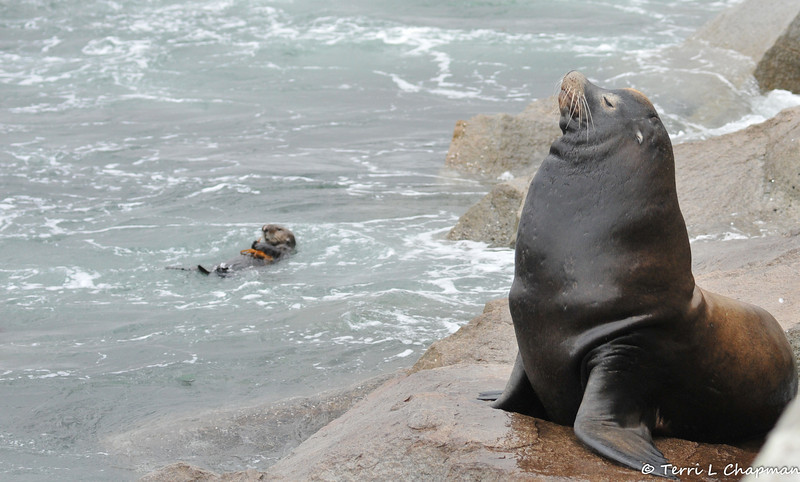 A California Sea Lion with a sea otter in the background eating a crab