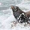 A California Sea Lion enjoying the ocean surf