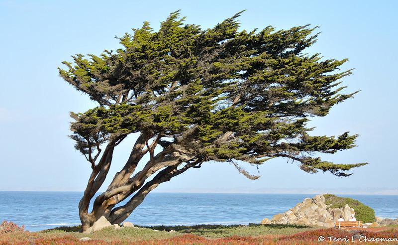 The icon Cyprus Tree