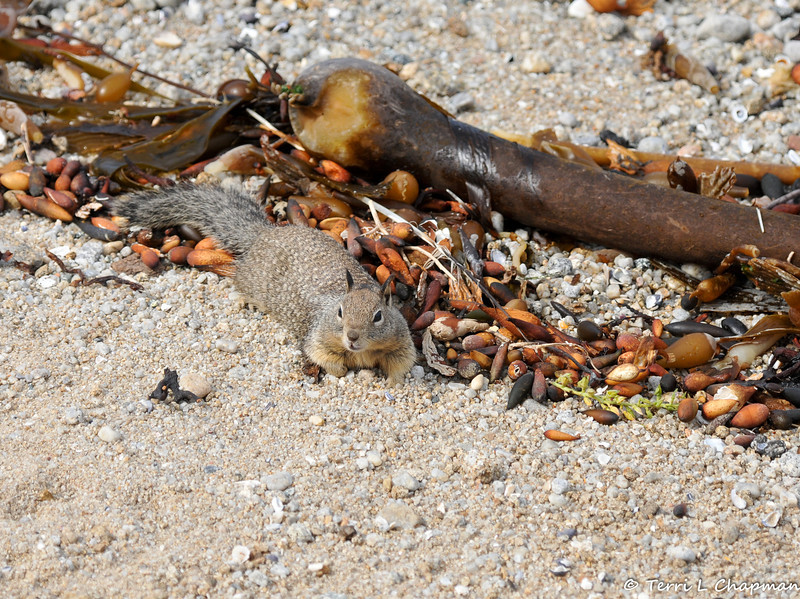 A Beechy Ground Squirrel resting on the beach after chewing on the seaweed