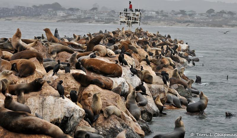 California Sea Lions at Fisherman's Wharf