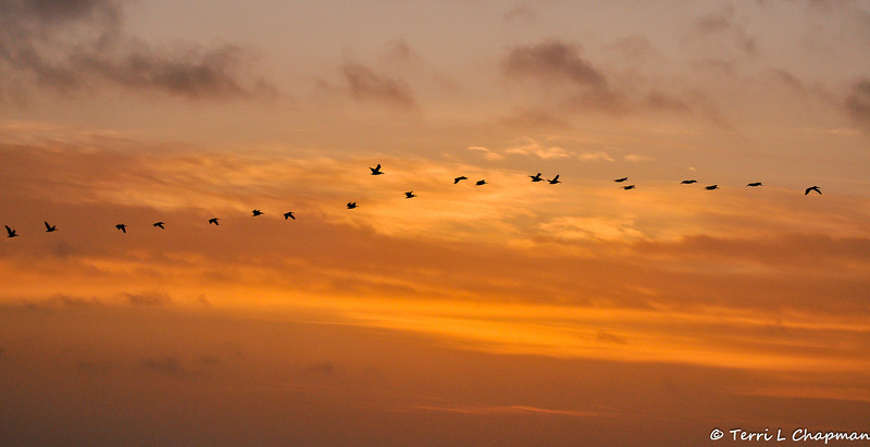 Brown Pelicans flying over the ocean at Sunset over Monterey