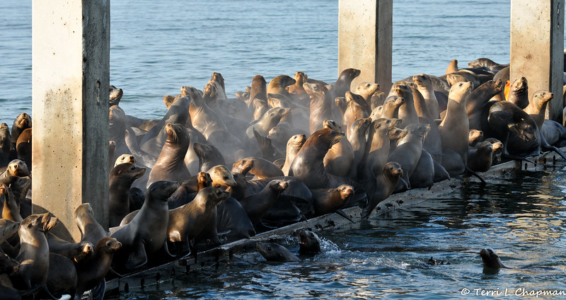 California Sea Lions taking over a boat dock
