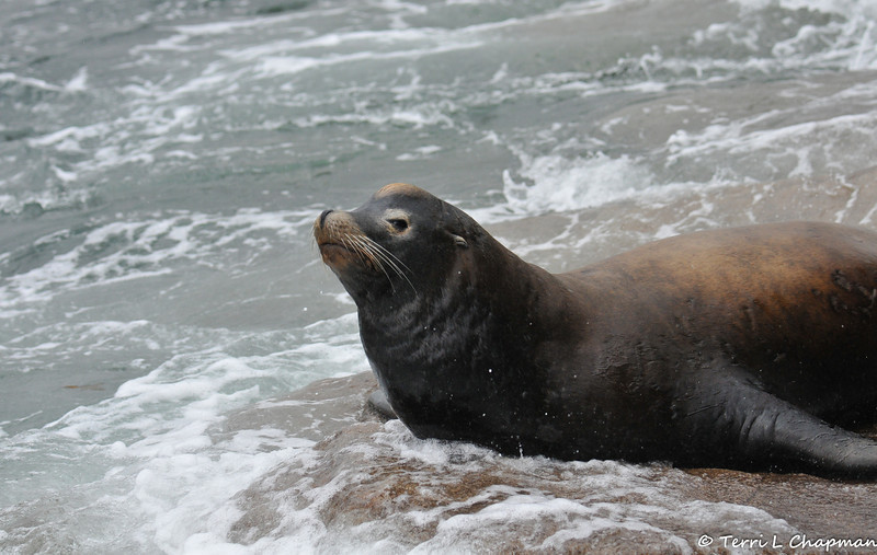 A California Sea Lion enjoying the ocean surf