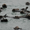 A raft of Southern Sea Otters
