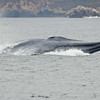 Blue Whale. Taken by Ted Cheeseman in September 2010.