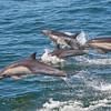 Common Dolphin pod. Taken by Doug Cheeseman in September 2012.