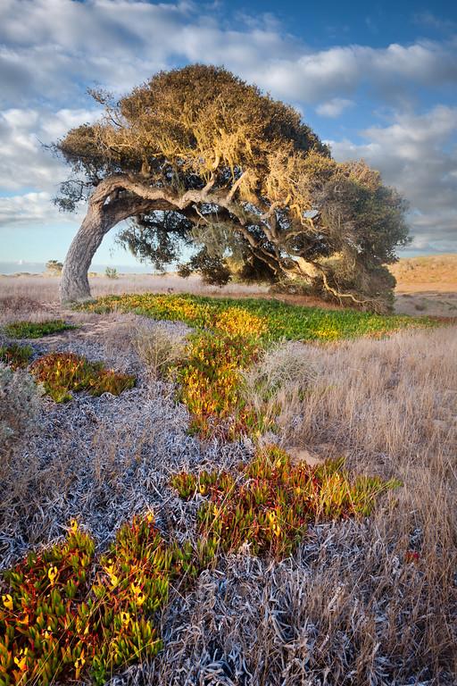 The Bending Oak at Fort Ord