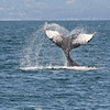 Humpback Whale lobtails. By Doug Cheeseman in July 2014.