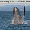 We watched many Humpback Whales in Monterey Bay this year attracted by the plentiful anchovies in the bay this year.  This one whale breached many times beside our boat. By Doug Cheeseman in July 2014.