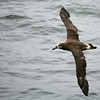 Black-footed Albatross. Taken by Ted Cheeseman in August 2006.