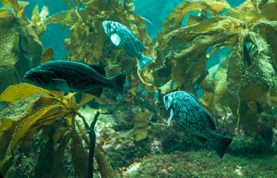 monterey-aquarium-fish-1