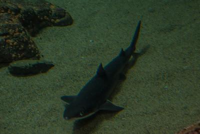 aquarium-shark-1
