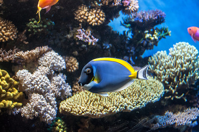 blue-angel-fish-2