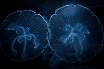 translucent-jelly-fish-1-2