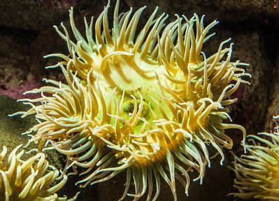 aquarium-sea-anemone-1