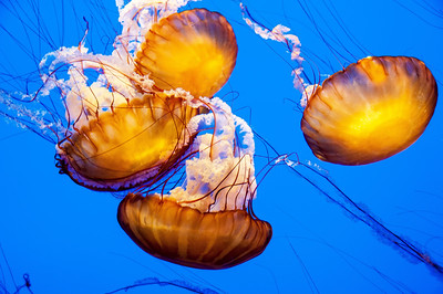 orange-jelly-fish-1