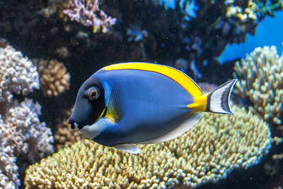 blue-angel-fish-1