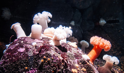 aquarium-sea-anemones-2