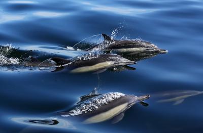 マイルカ,  Short-beaked Common Dolphin