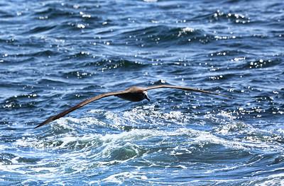 クロアシアホウドリ Black-footed albatross