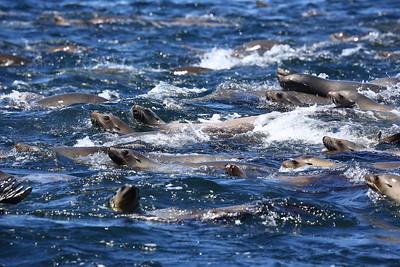 California sea lion, カリフォルニアアシカの群れ