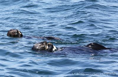 ラッコ,  Sea otter