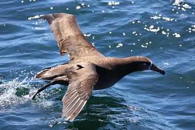 クロアシアホウドリ, Black-footed albatross