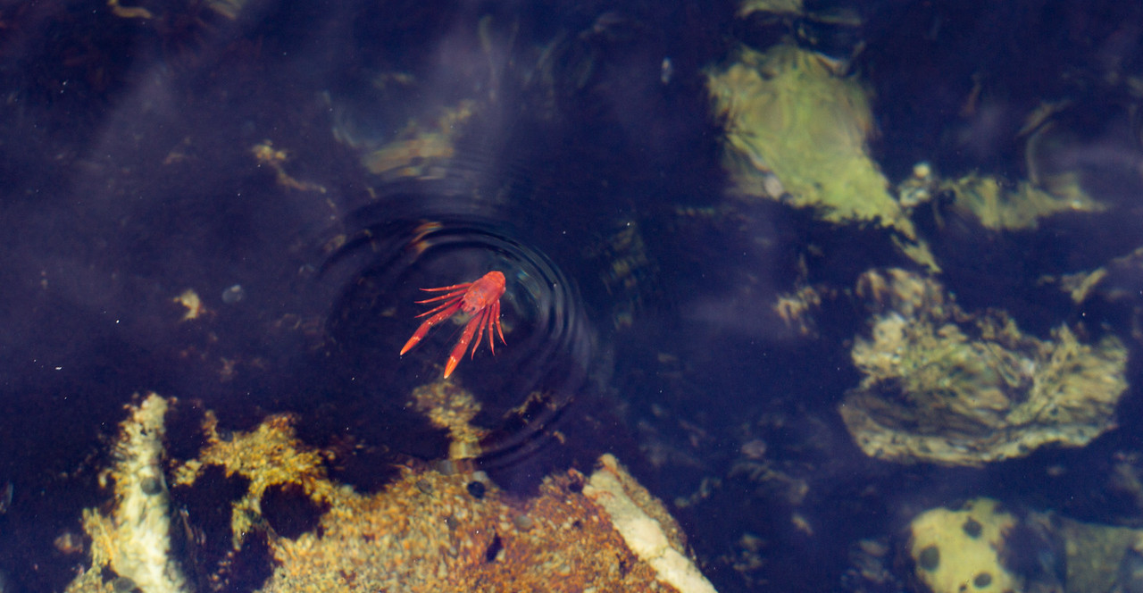 Pelagic Red Crab