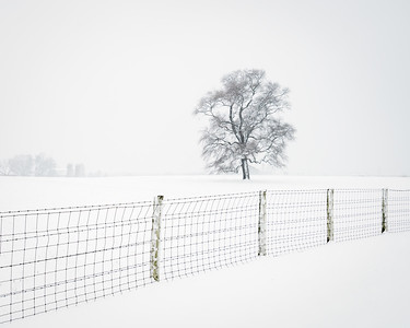 Oak Tree and Fence