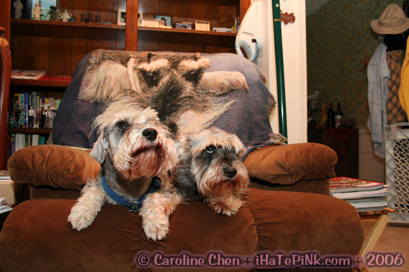 """Tobe (pronounced """"to be"""") and Jackie on the schnauzer-draped couch."""