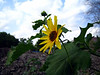 Sunflower growing in a dirt pile on a nice day.