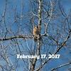 Red-Shouldered Hawk's Nest 2017