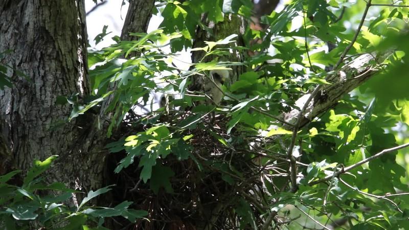 Red-Shouldered Hawk's Nest 051817