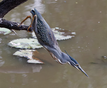 Richard Pilcher - Green Backed Heron