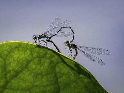 Ron Weatherhead - Dragon Flies