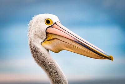 Ray Stabey - Kangaroo Island Pelican
