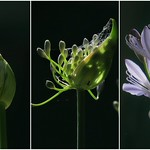 Jenny Sui - Triptych of agapanthus