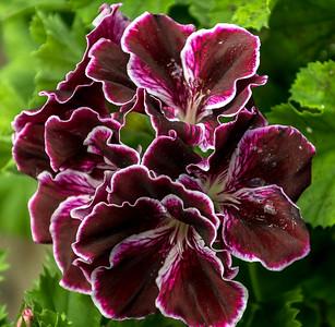 PeteMirabella-Purple Beauty