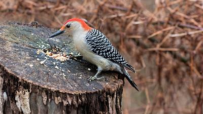 RoniChastain-Woodpecker