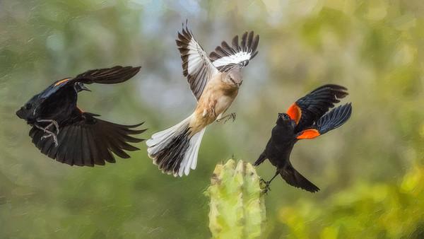 Tom Crosley - Mockingbird vs Blackbirds