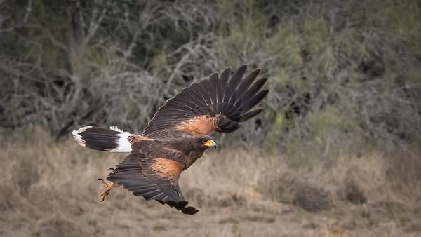 Tom Crosley - Harris's Hawk