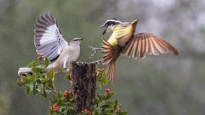 Tom Crosley - Mockingbird vs Kiskadee