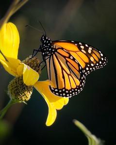 V Ed Engel -  Butterfly 3   ipg