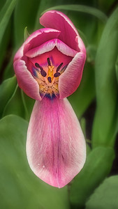 V StevenKessler Open Tulip