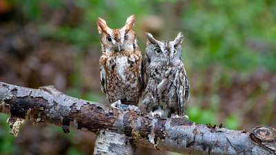 VinceComo-Screech Owl T Roosevelt