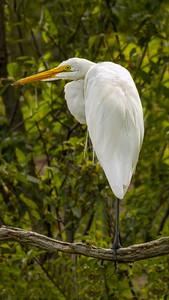 V StevenKessler Egret in A Tree