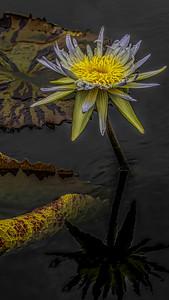 V StevenKessler Yellow and White Water Lily